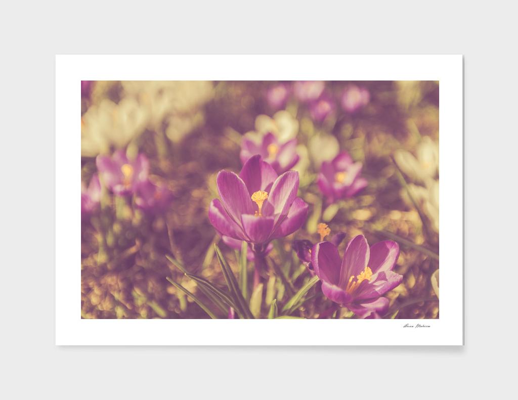 Flowers Crocuses Violet Close-up Spring Matte