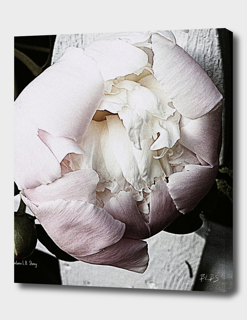 Vintage Blush Peony Bloom