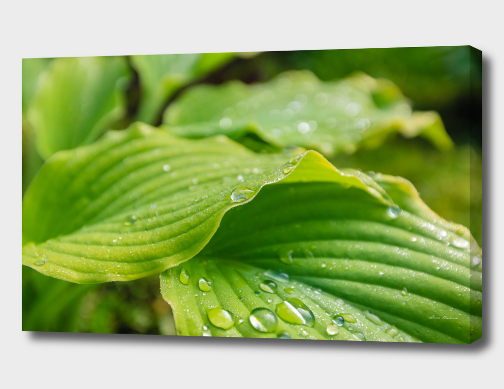 Hosta Leaves. Raindrops