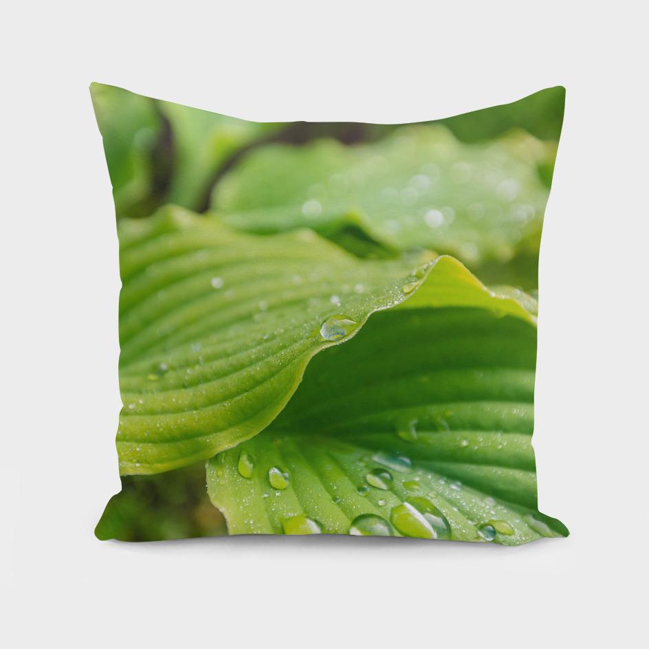 Hosta Leaves. Raindrops
