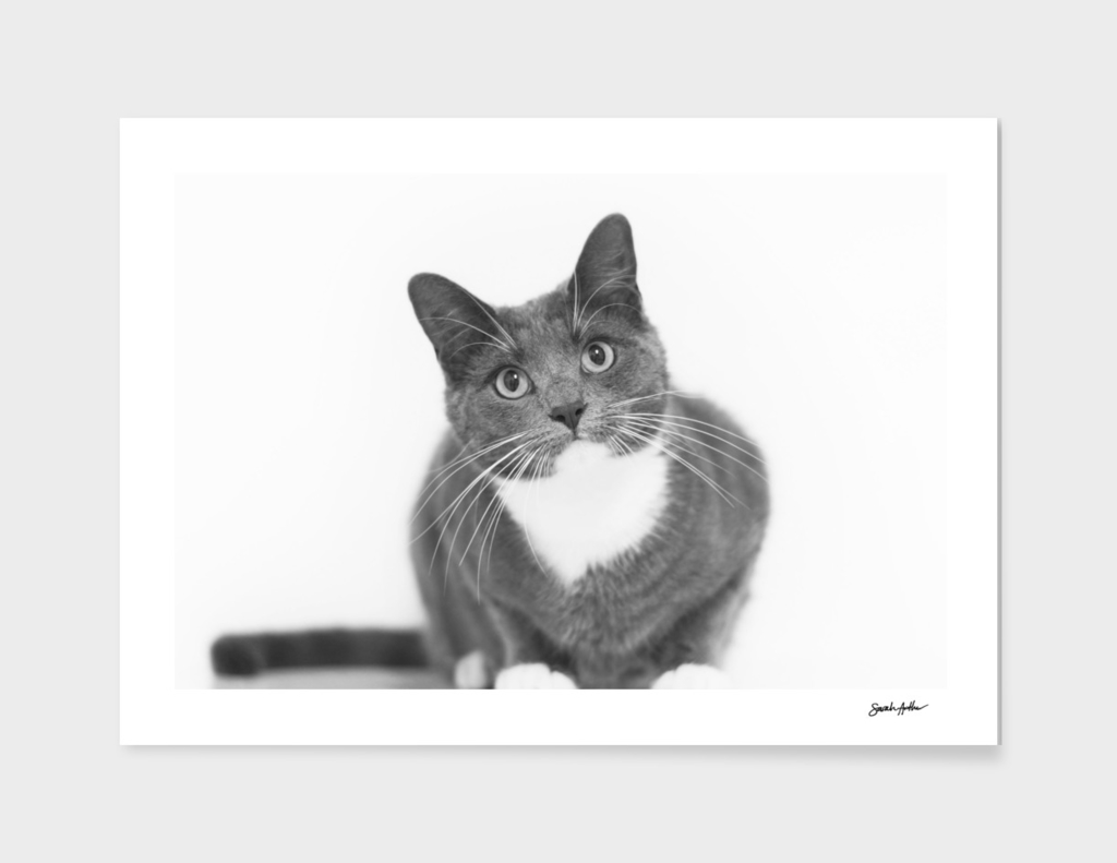 Grey and white cat