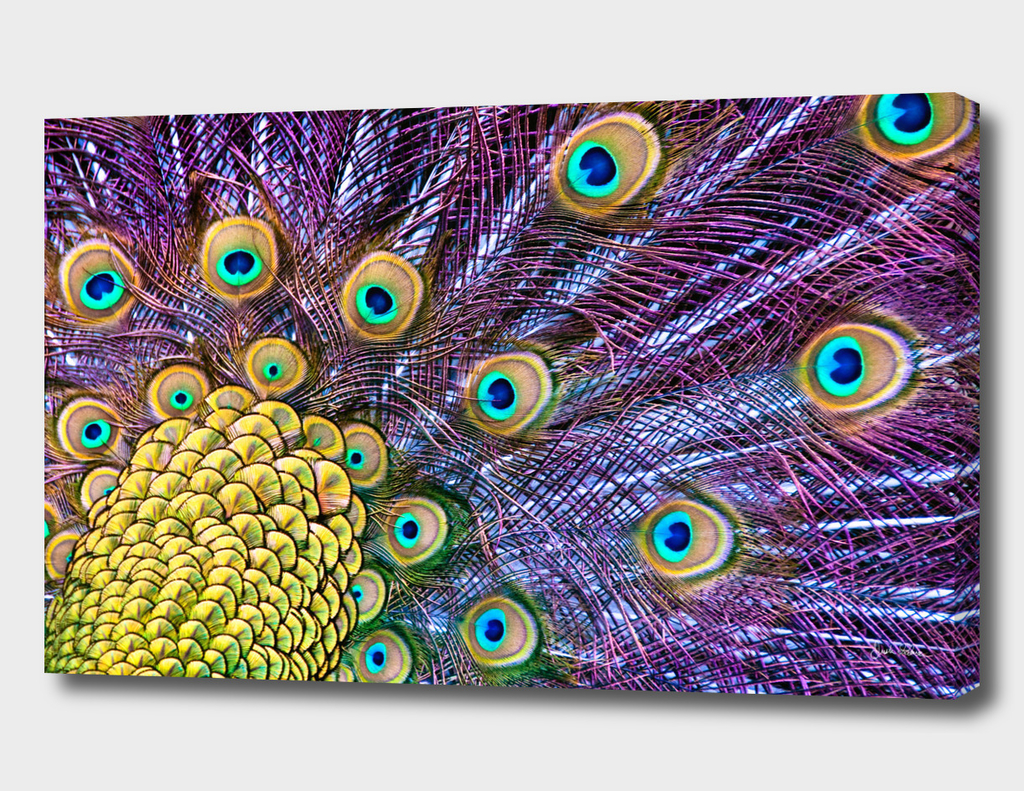 Vibrant Peacock Plumage
