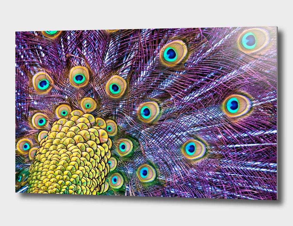Vibrant Peacock Plumage