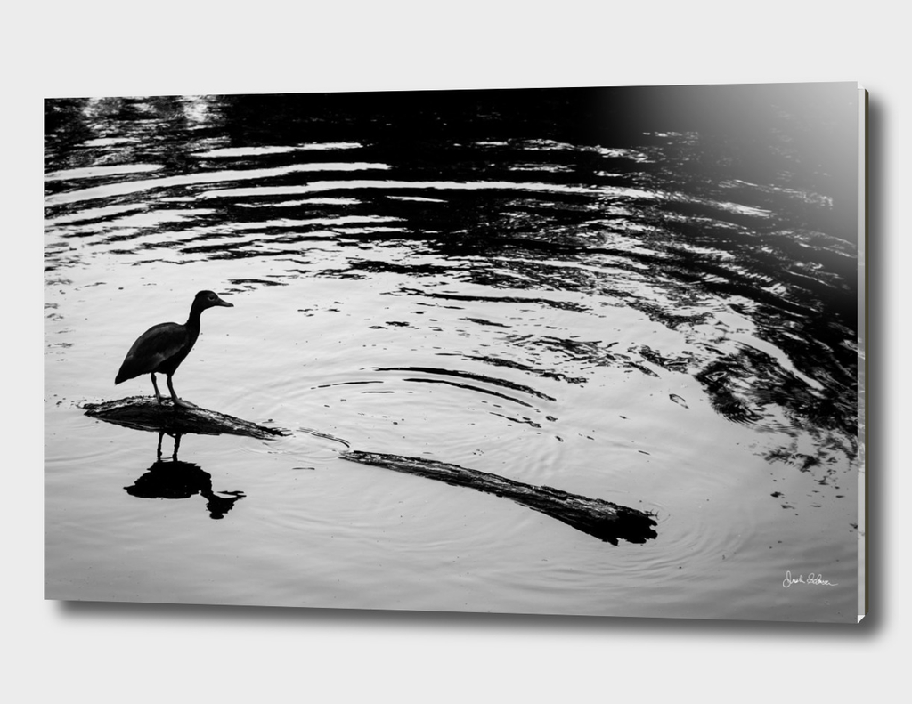 Whistling Duck on a Log in Black and White