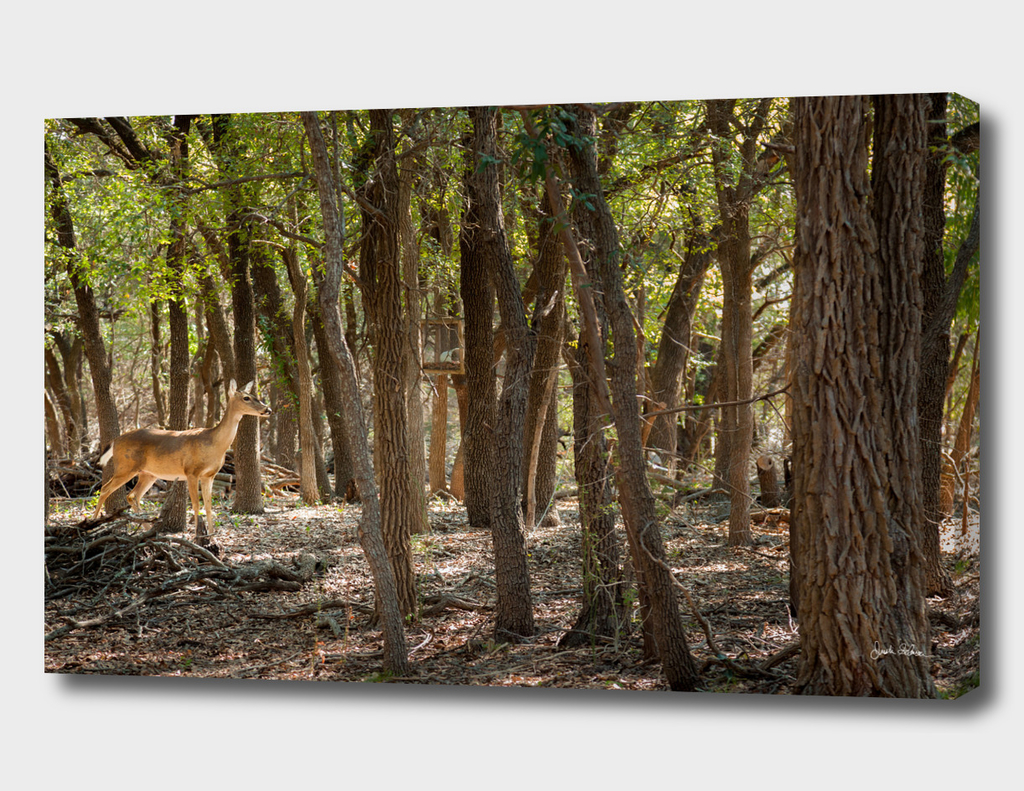 Whitetail Deer in Sunny Forest