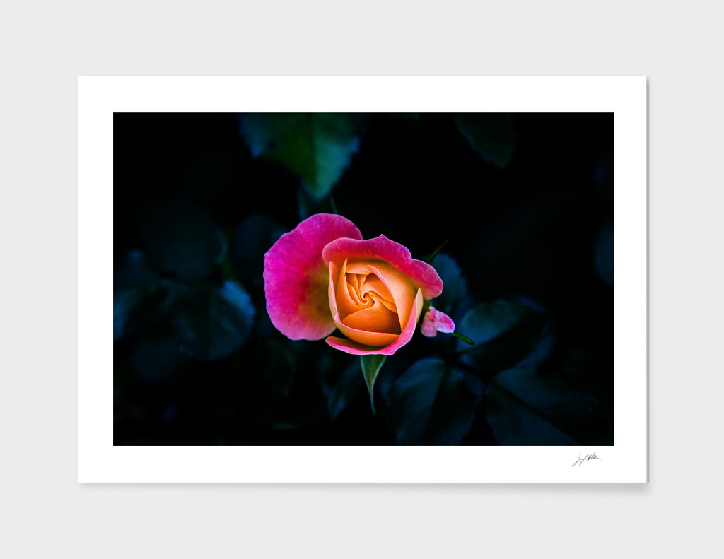 Blooming - Flower Photo