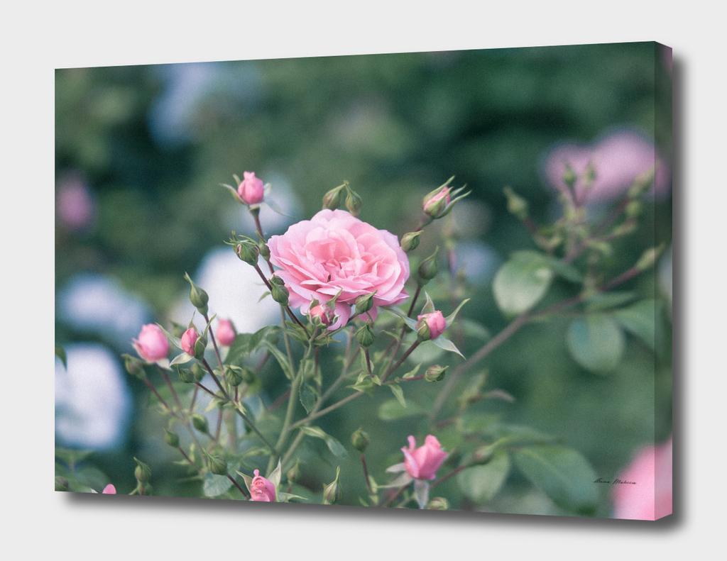 Roses Pink Close-up of Bush Outdoors