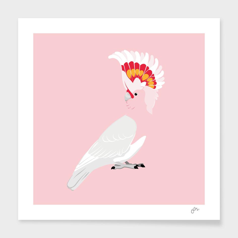 Mayor Mitchell's cockatoo