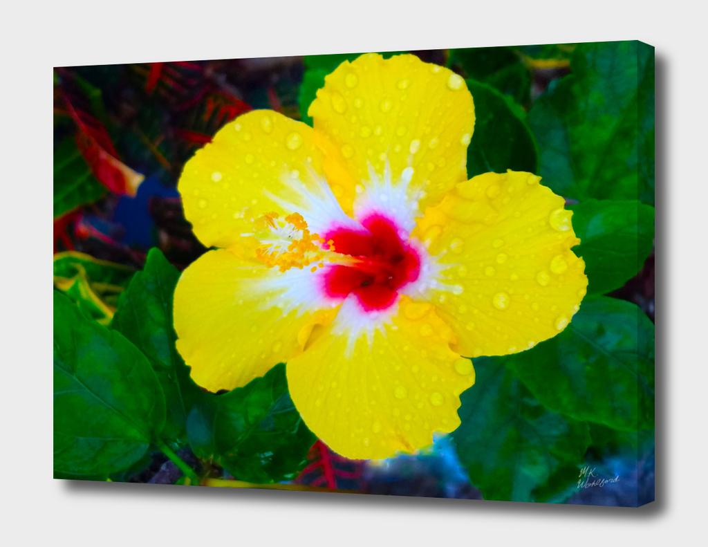 Yellow Hibiscus Kissed by Rain