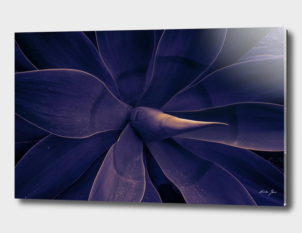 Purple wild Agave
