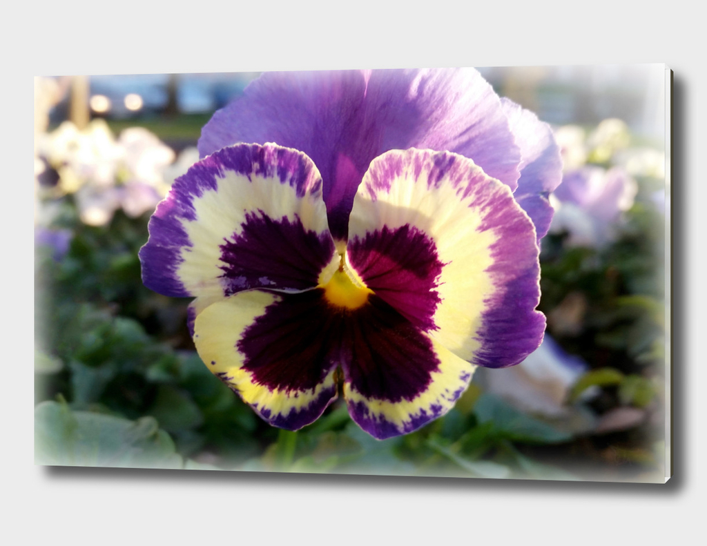 colorful spring Pansy