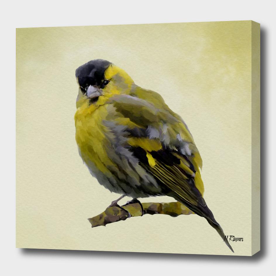 Bird: Siskin