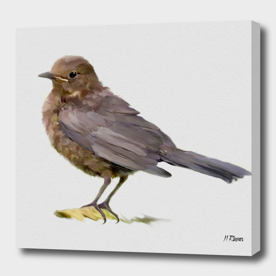 Bird: Young Blackbird c