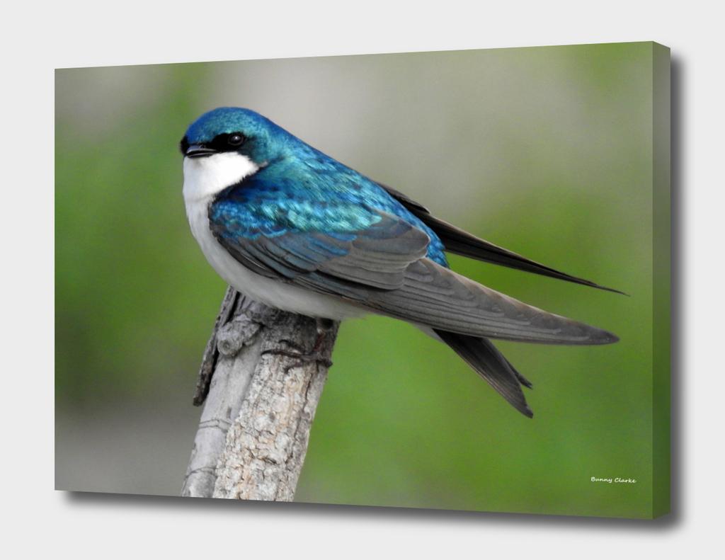 Male Tree Swallow II