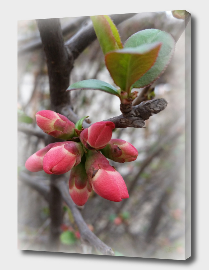 wild quince blooming