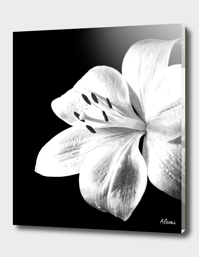 White Lily Black Background