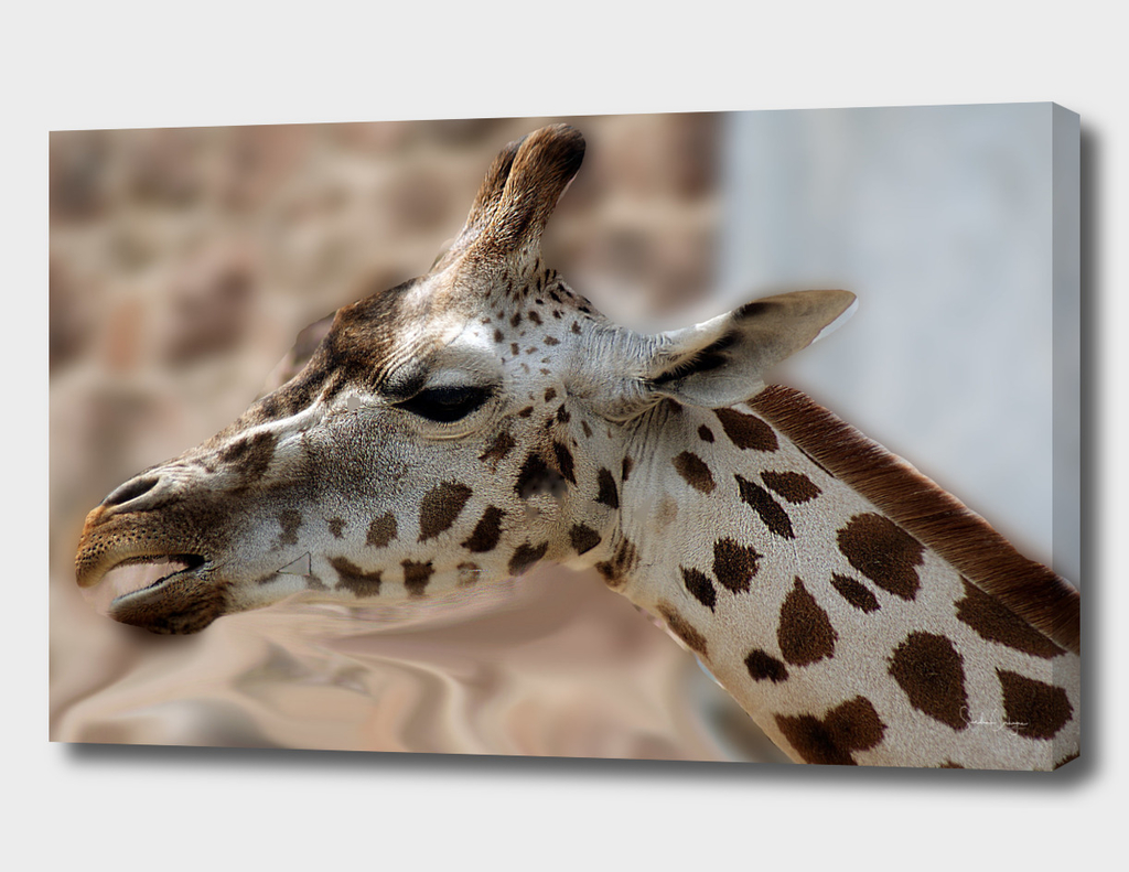 Side Portrait Of A Giraffe.