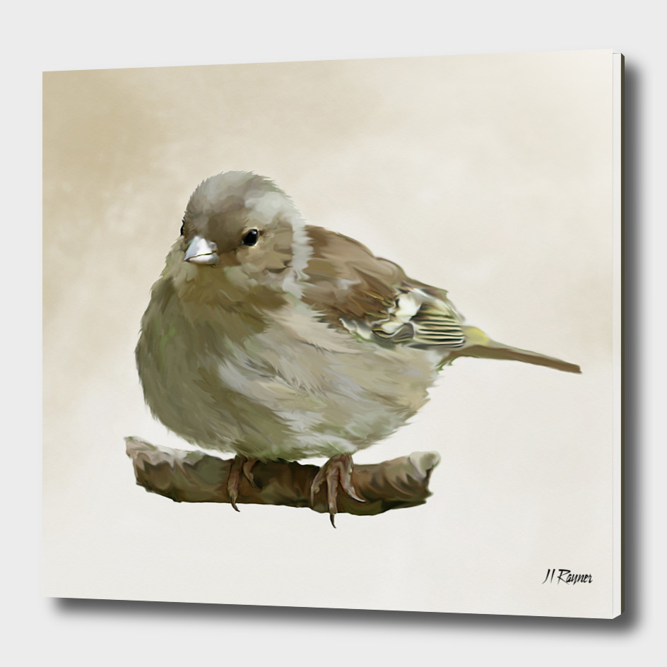 Bird: Young Chaffinch