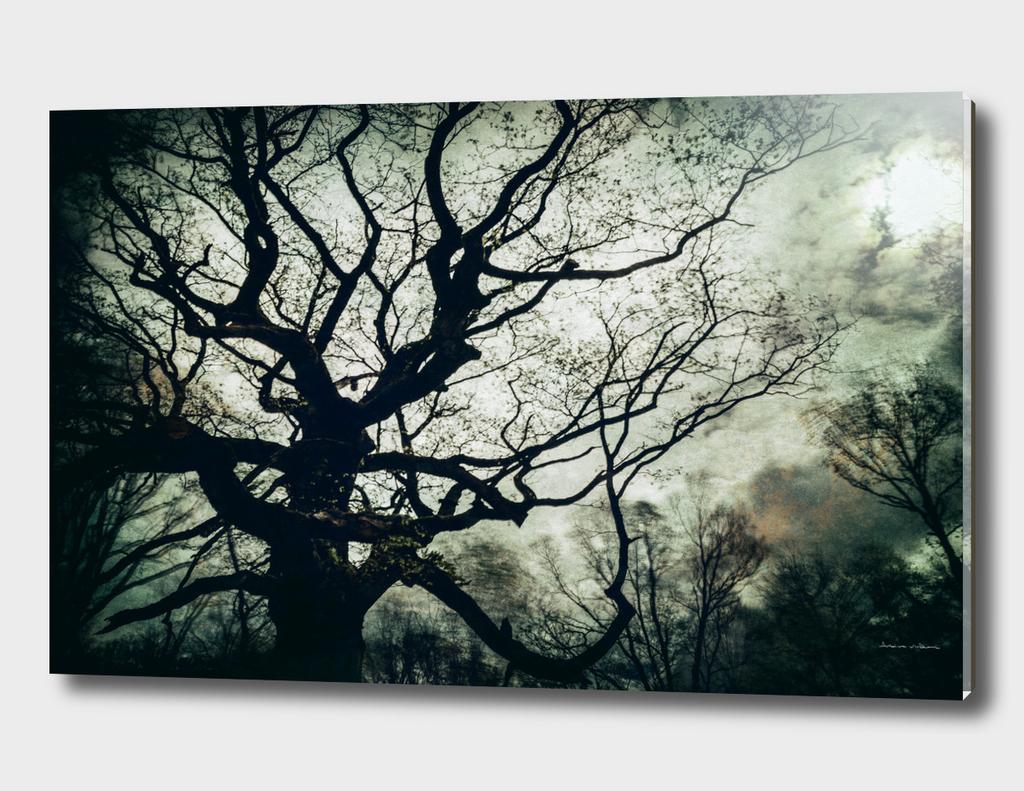 Hindres Oak