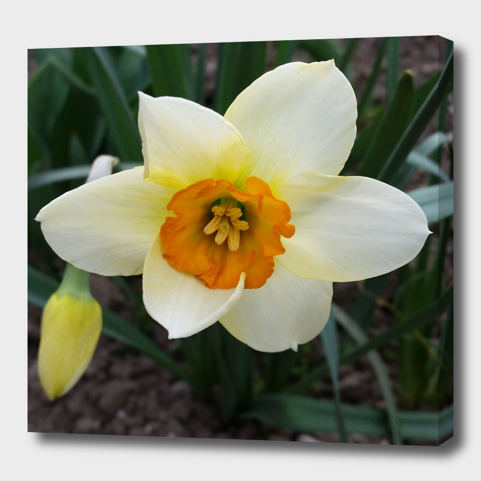 white daffodil shining