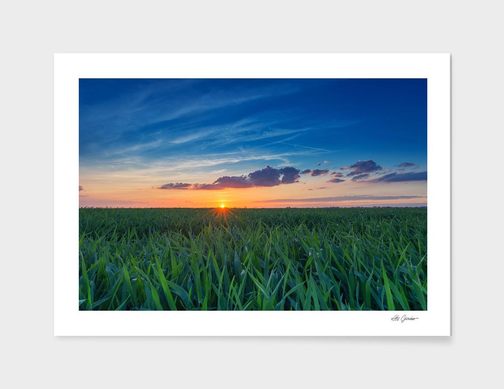 Sunset over the grain field
