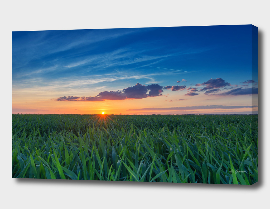 Sunset over the grain field
