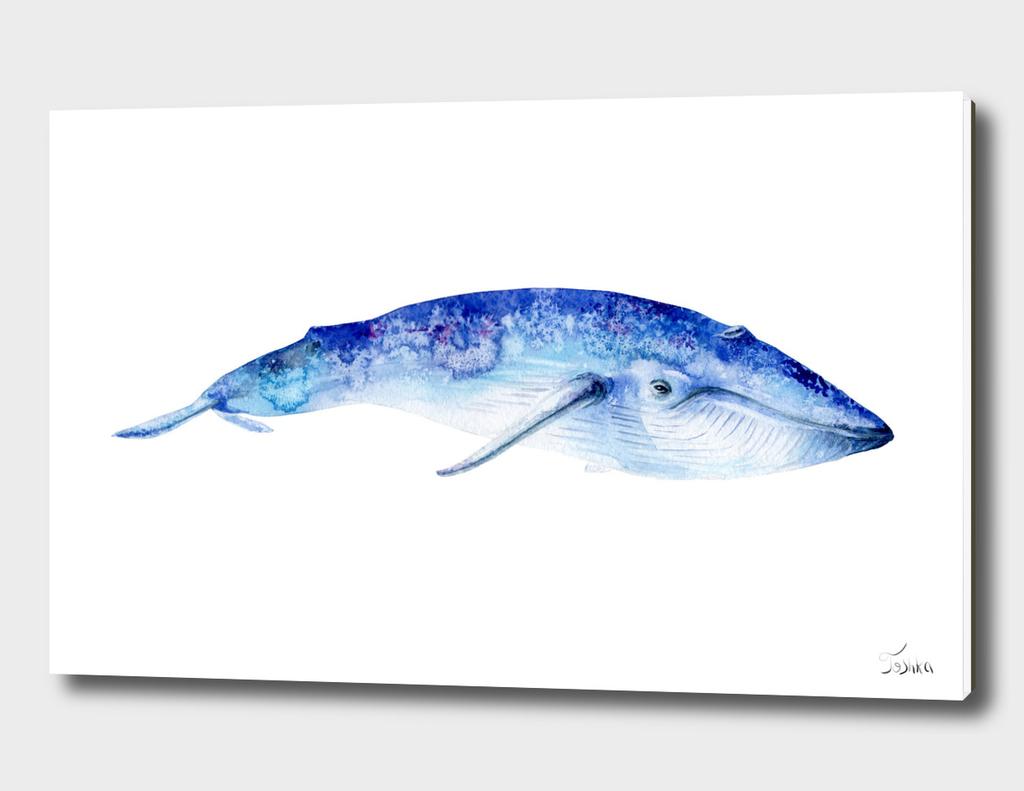синий кит Balaenoptera musculus