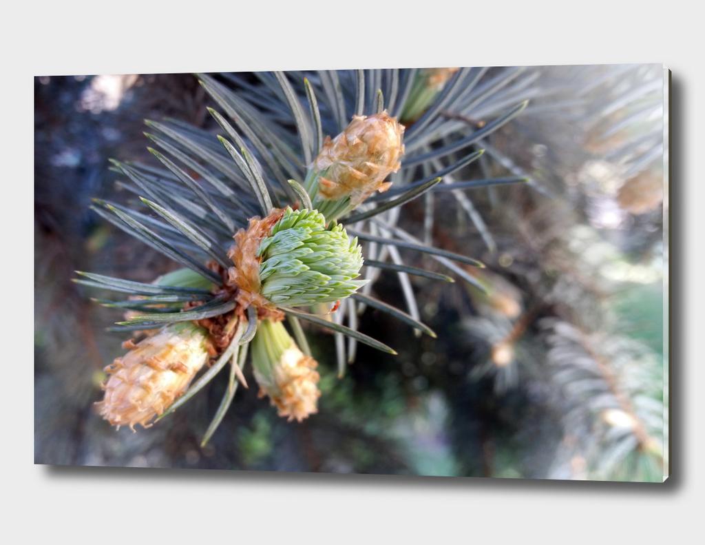 spring fir buds
