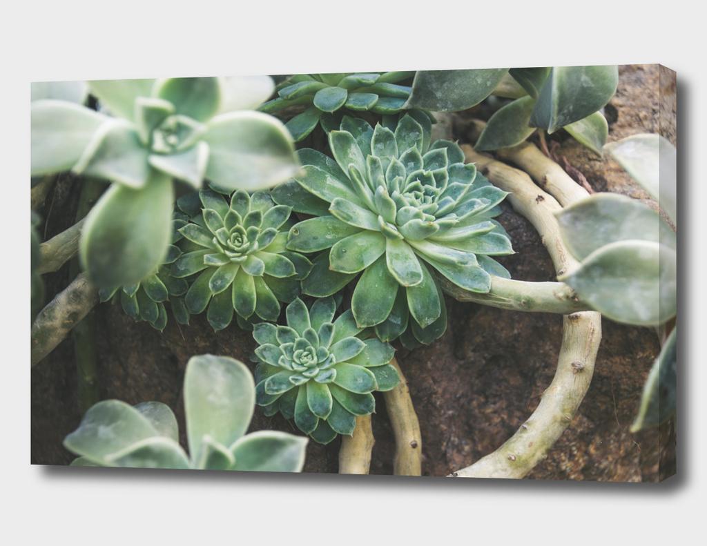Botanical Gardens - Succulent #625