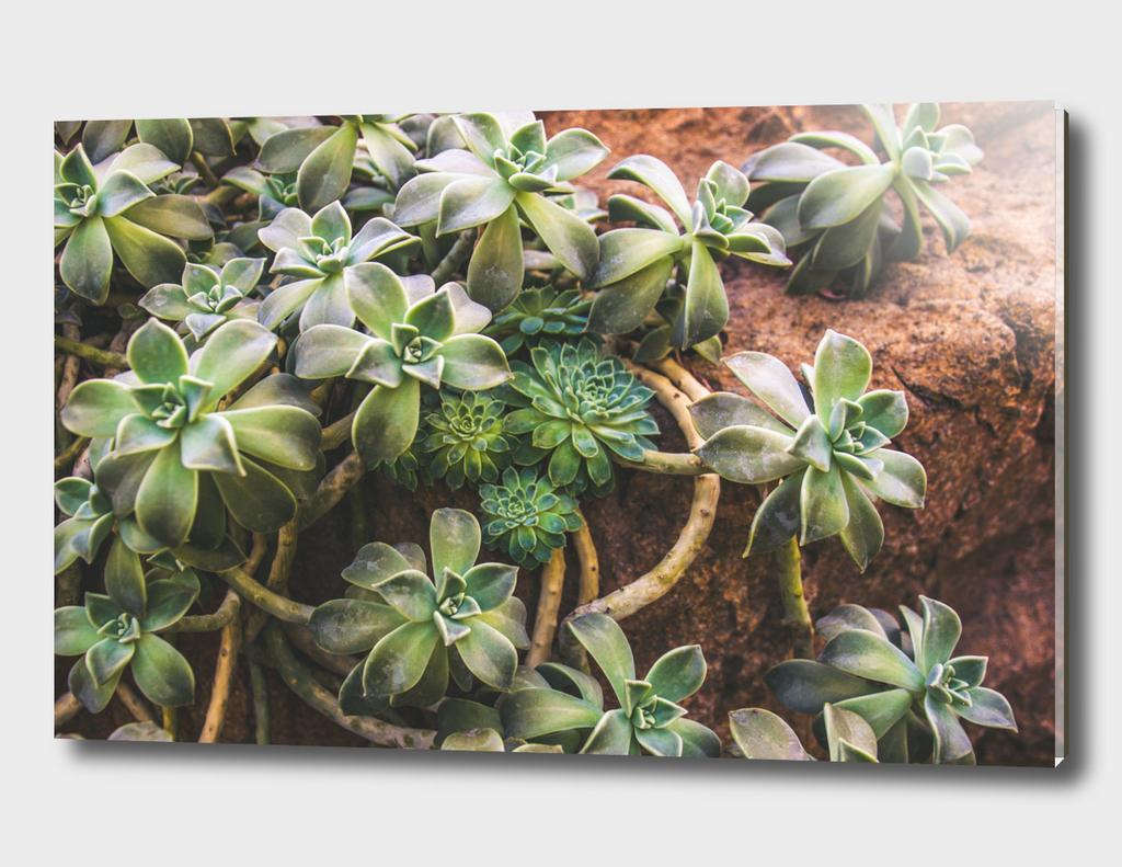 Botanical Gardens - Succulent #882
