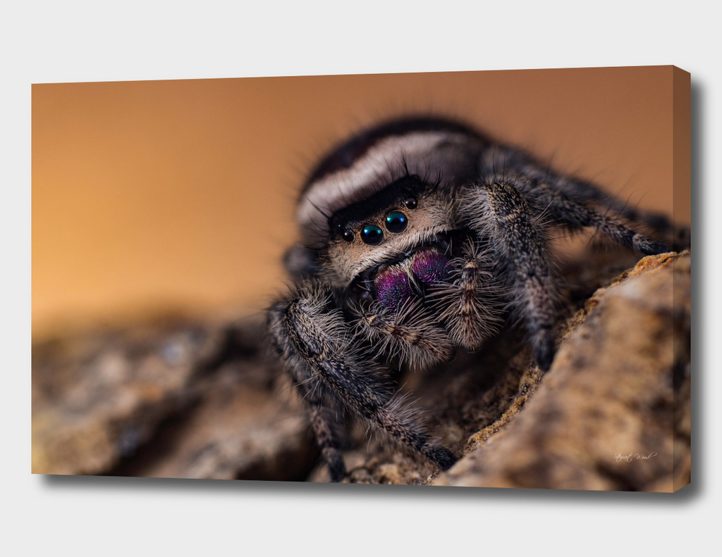 Missy the jumping spider