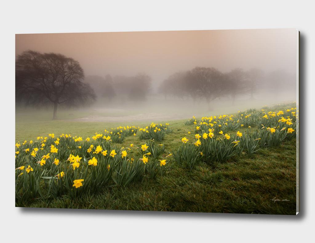 Misty Daffodils