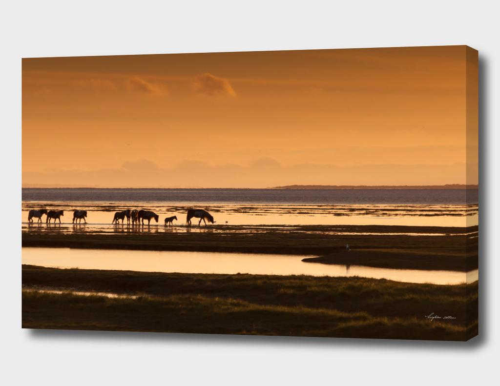 Marsh ponies Loughor estuary