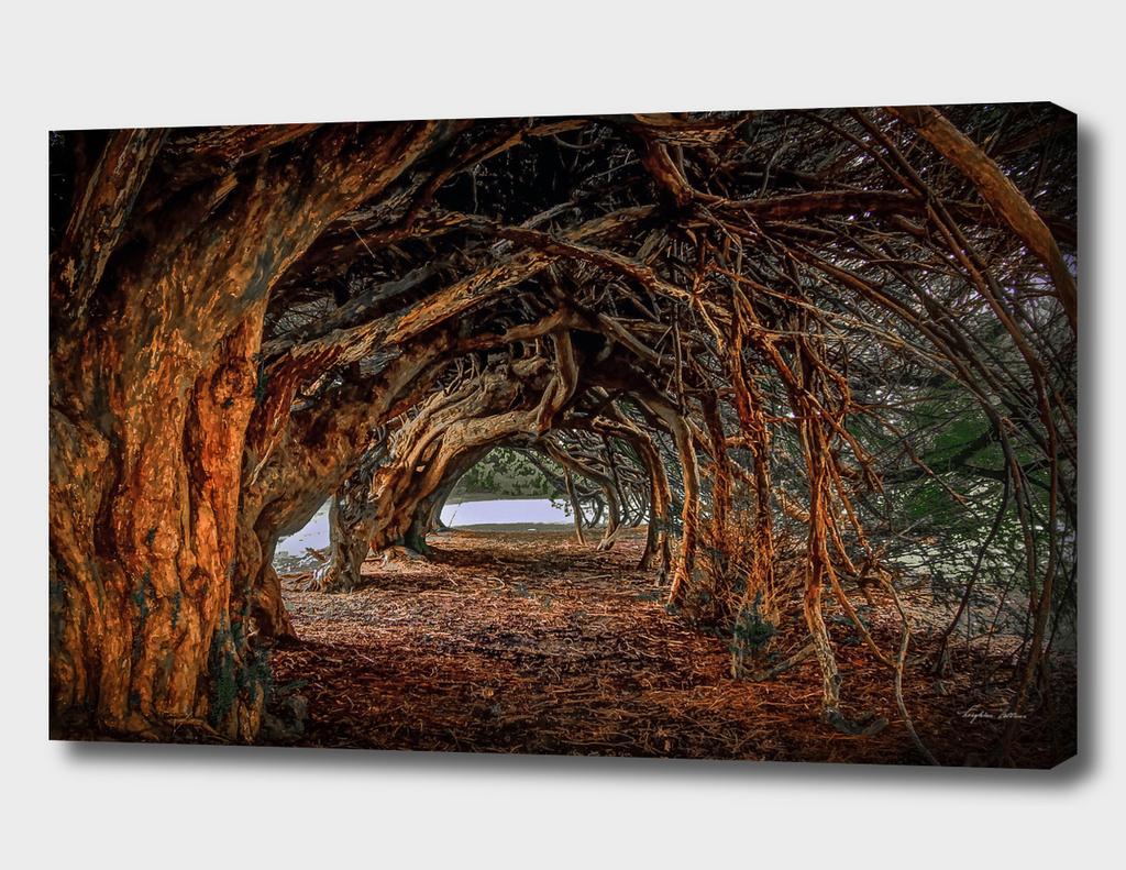 1000 year old yew tree at Aberglasney gardens