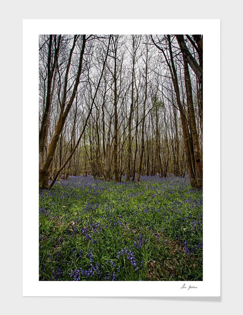 Bluebells at Kings Wood