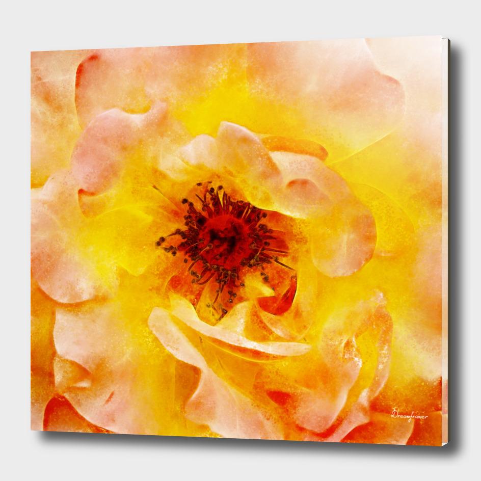 Closeup Peach Rose Fine Art
