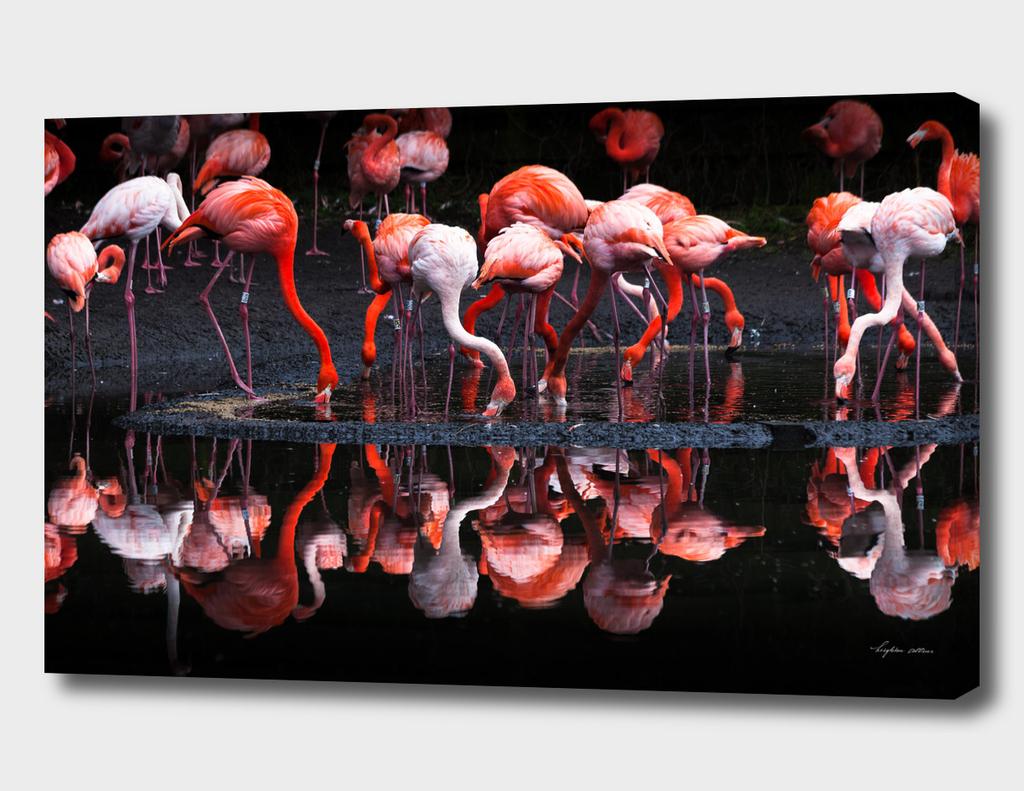 Flamingos reflections