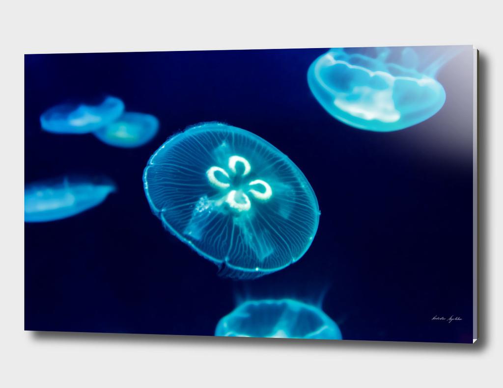 Jellyfish, blue background