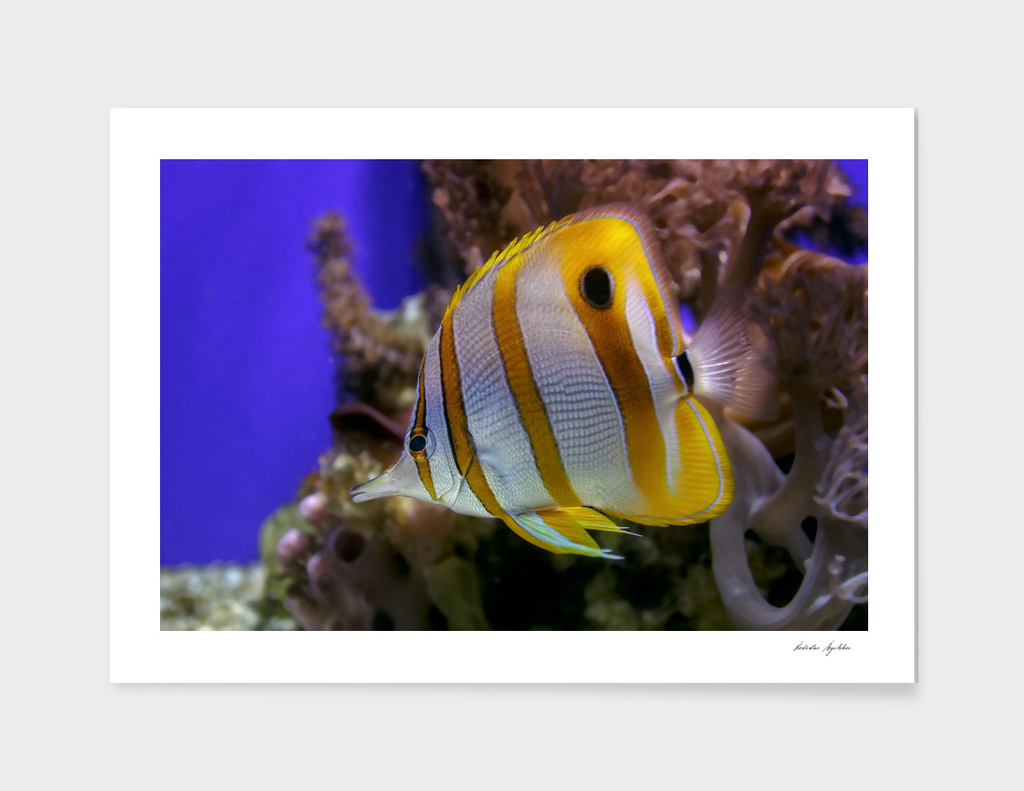 Exotic sea fish Copperband butterflyfish