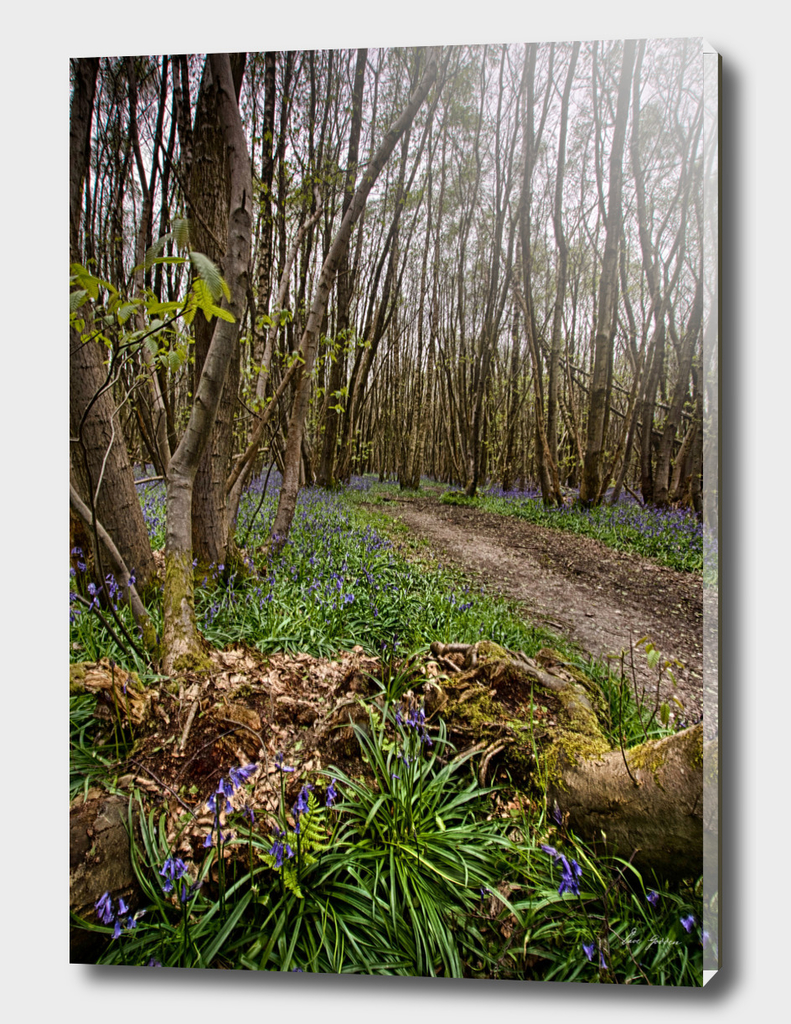 Bluebells at Kings Wood