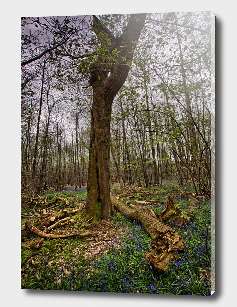 Cut Tree Among Bluebells