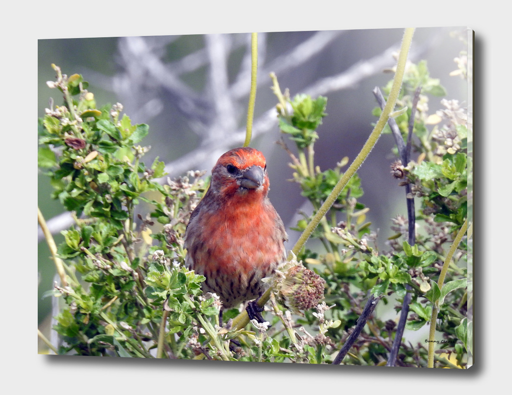 Handsome Male House Finch
