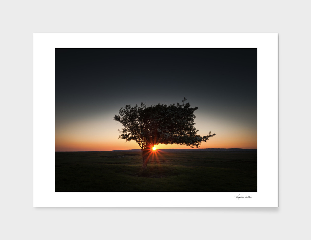 Windswept tree at Penclawdd, Gower