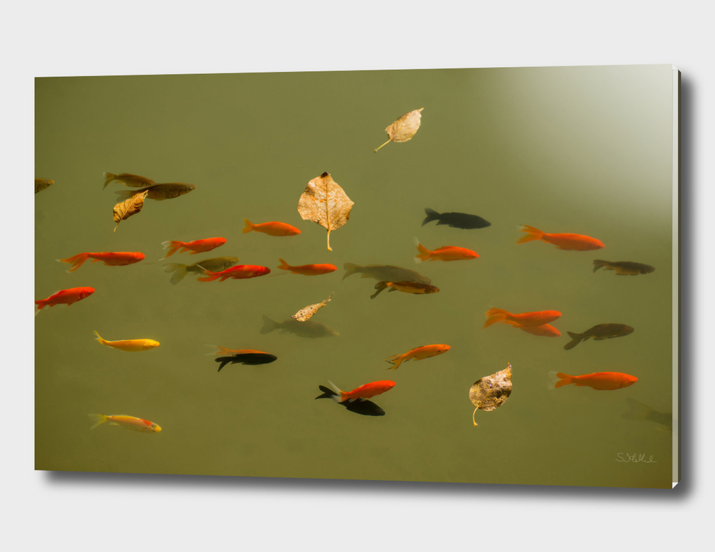 Floating leaves with goldfish