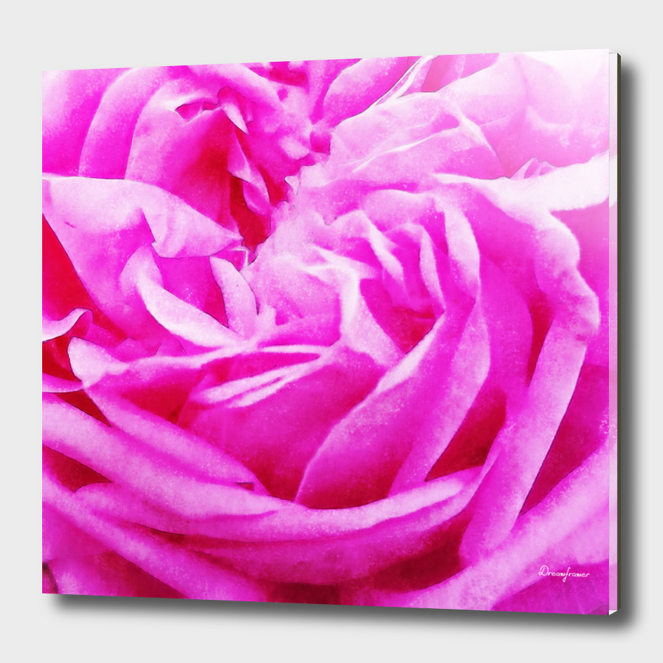 Closeup Pink Rose Fine Art