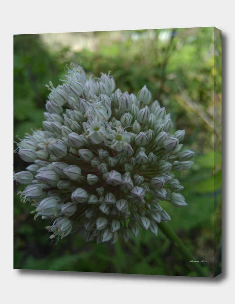 ajoporro flower