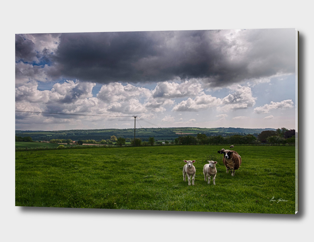 Sheep In The Stour Valley