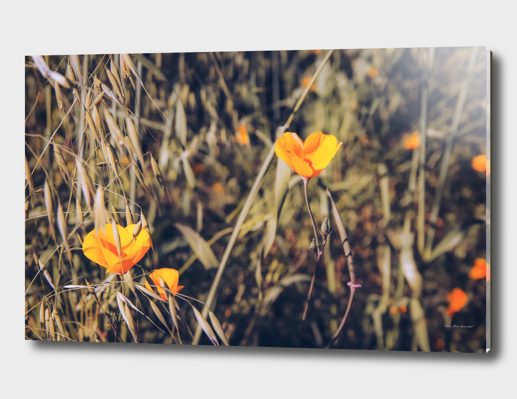 yellow poppy flower field