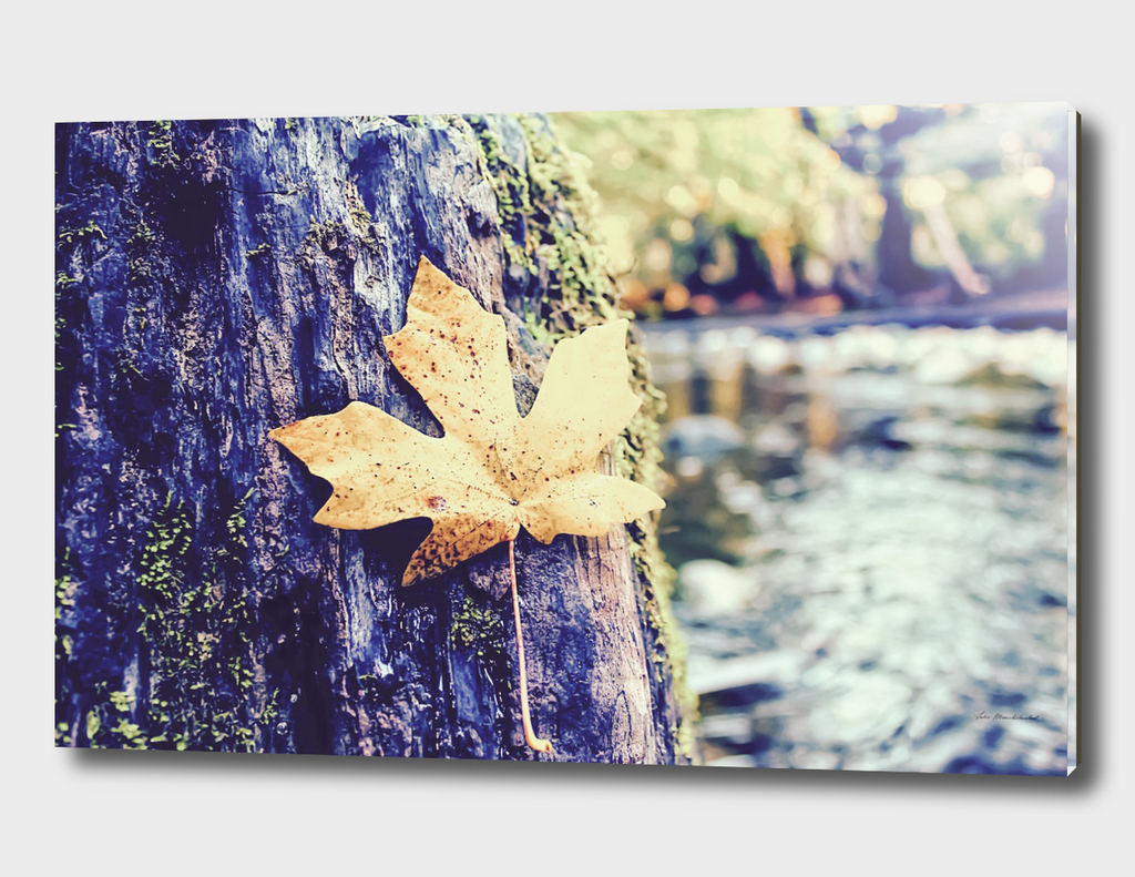 maple leaf in the wood with river background