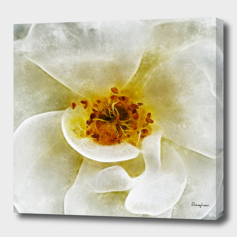 Closeup White Rose Fine Art